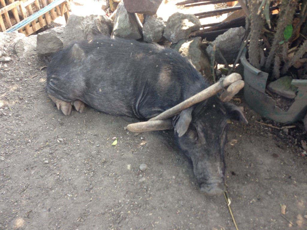 Criminal Pig: This wildboar has been found guilty of eating chics, stealing food and destroying property