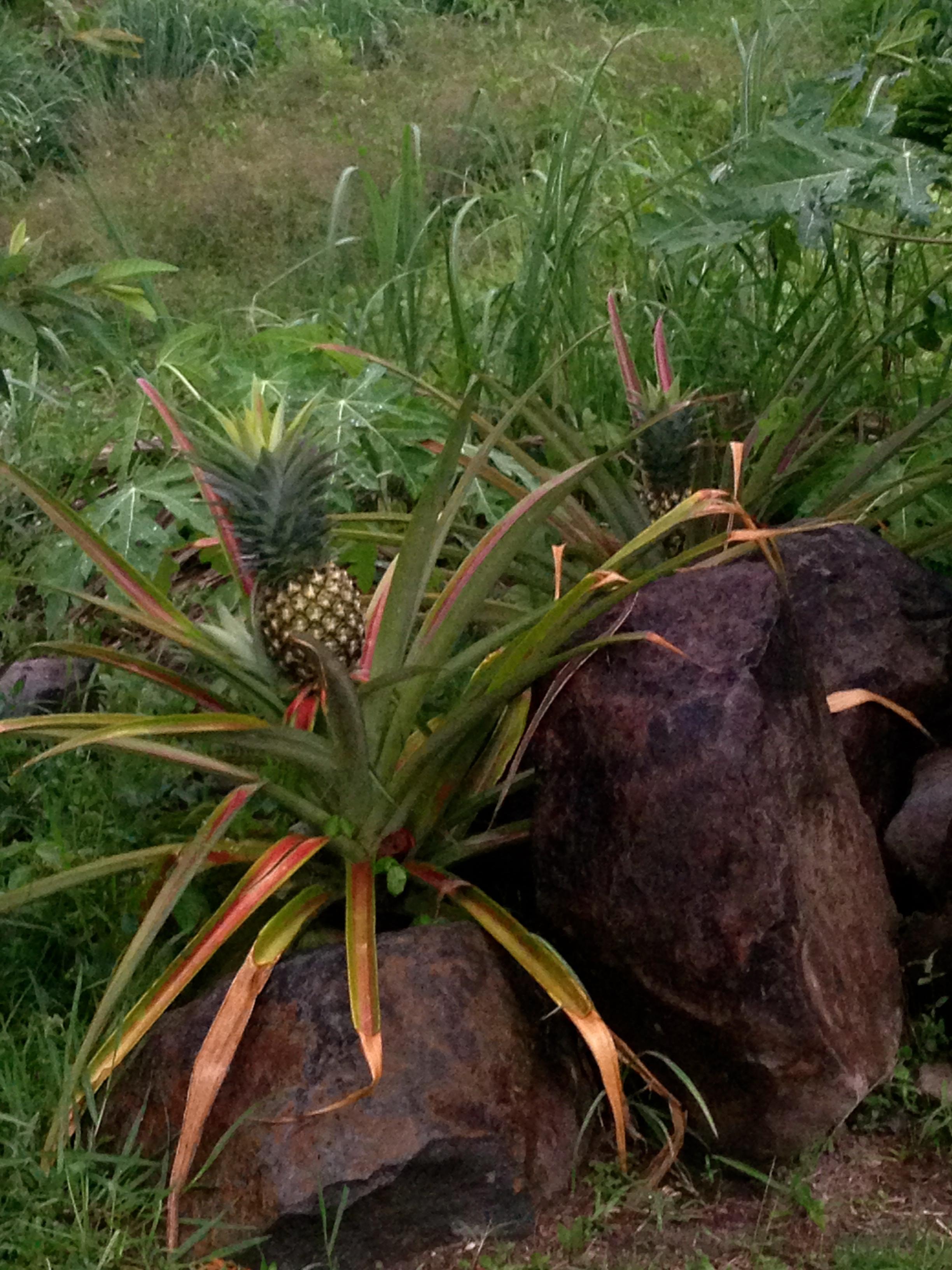 Organic Pineapples