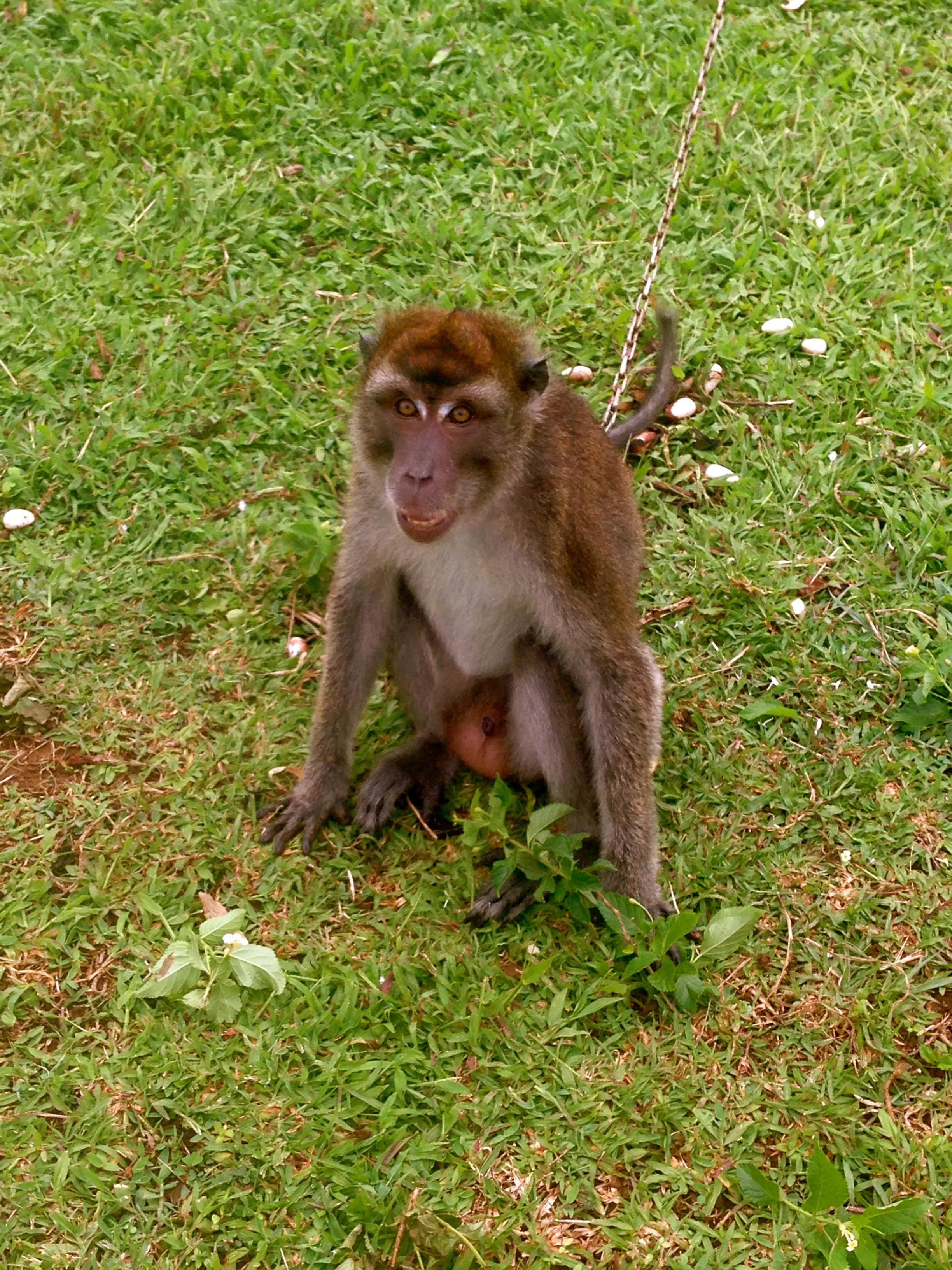 The grumpy Monkey