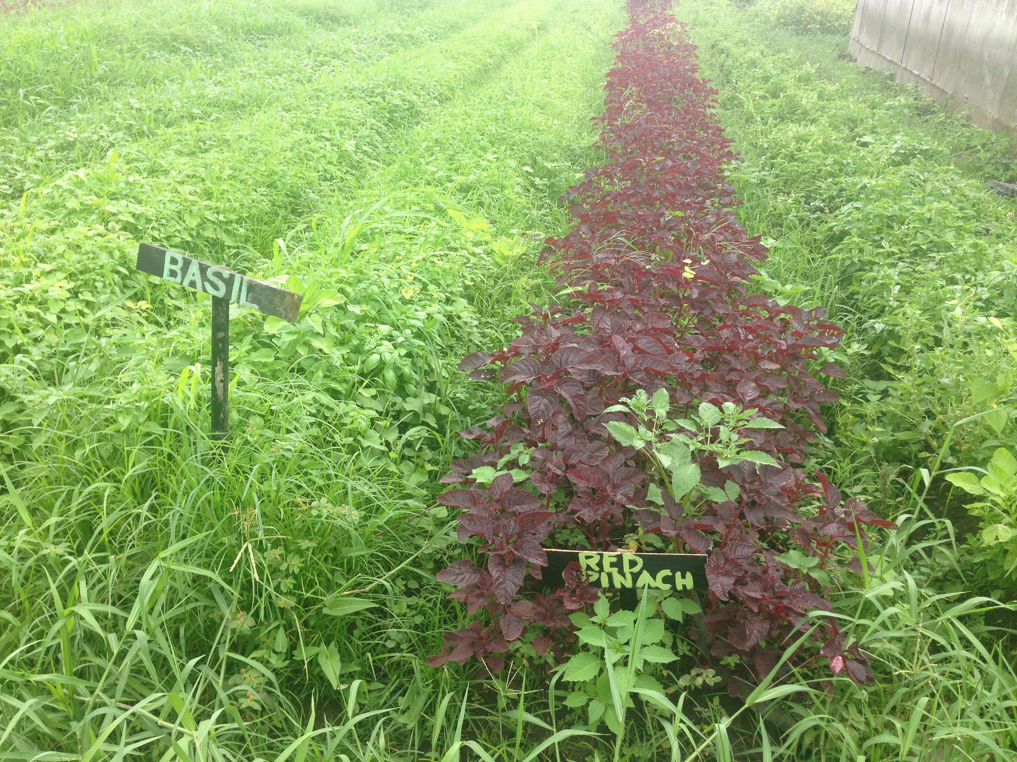 Basil is a cult winner in anti inflammation